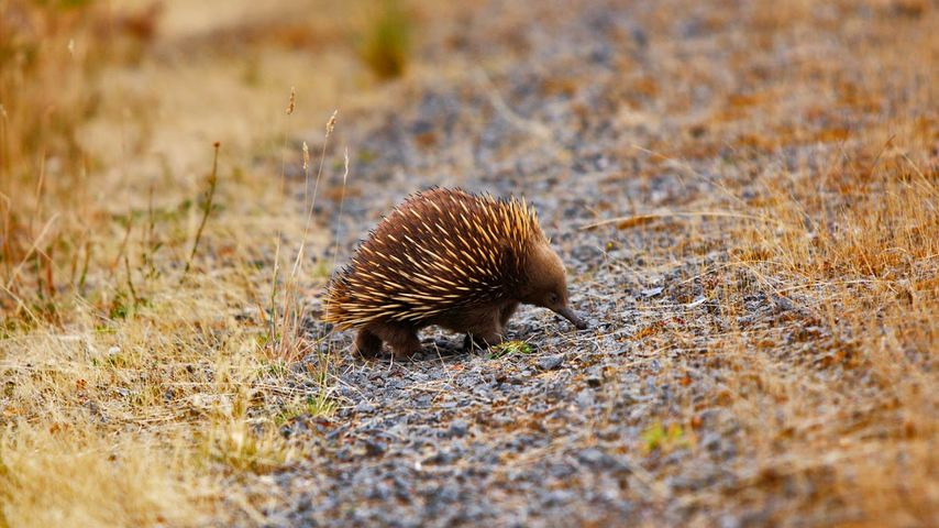 An echidna out and about