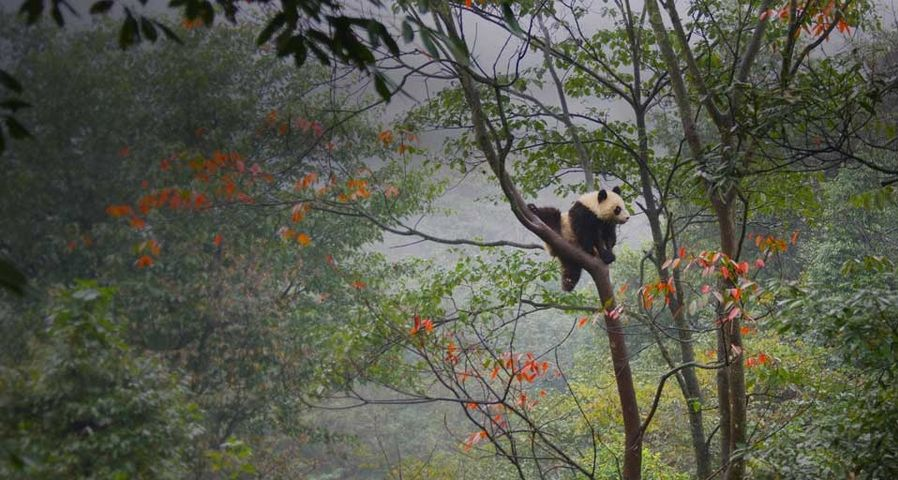 Giant panda cub playing in tree in Ya'an, China