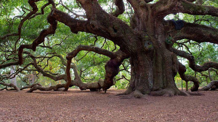 Angel Oak Tree, Johns Island, South Carolina