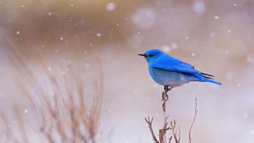 Male mountain bluebird in Yellowstone National Park, Wyoming