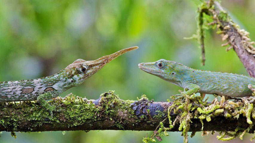 Macho y hembra de anolis cornudo en Mindo, Ecuador