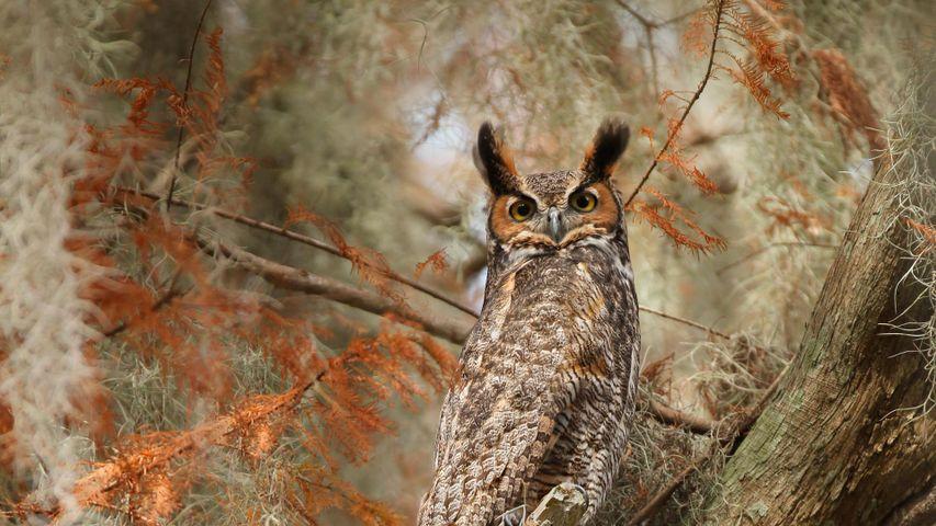 圣克劳德市南部托霍普卡莱加湖附近的大雕鸮,美国佛罗里达州