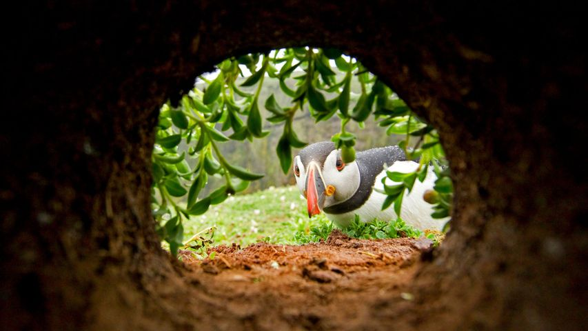 An Atlantic puffin inspects a nesting burrow on Skomer Island, Wales