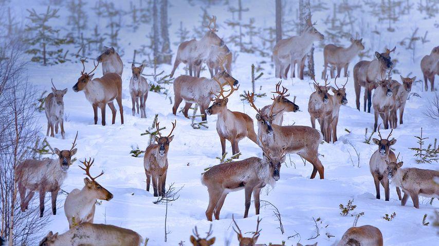 Reindeer near Oulu, Finland