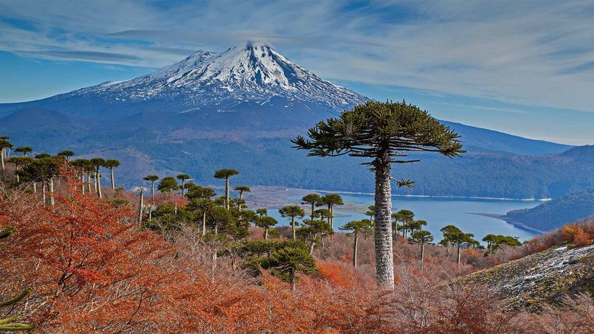 Volcano Llaima with Araucaria trees in the foreground, Conguillío National Park, Chile