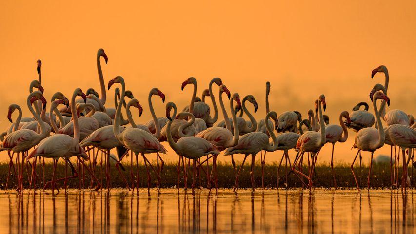 大型火烈鸟迁徙到淡水区,印度