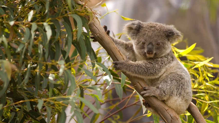 An Australian koala perched in a gum tree overlooking the scenery