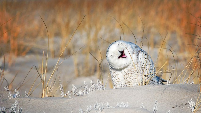 Snowy owl at Jones Beach, Long Island, New York