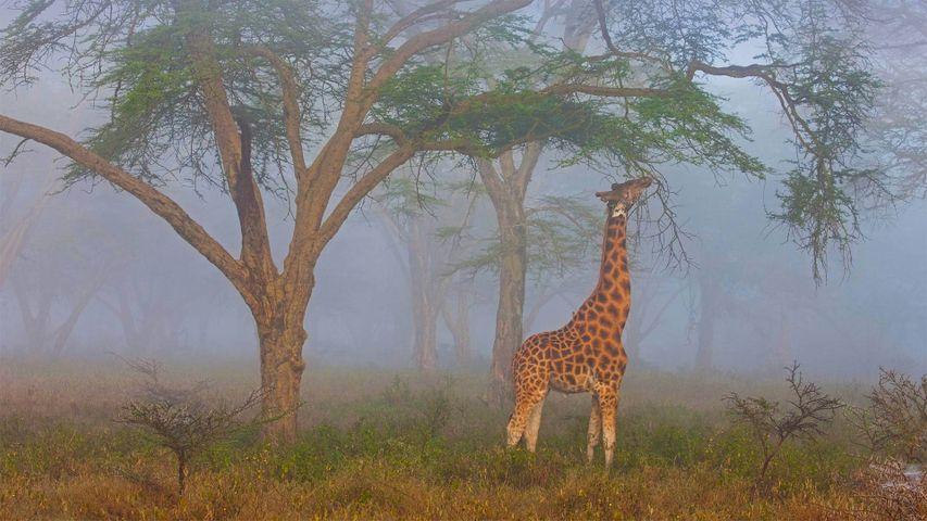 纳库鲁湖国家公园中的罗氏长颈鹿,肯尼亚