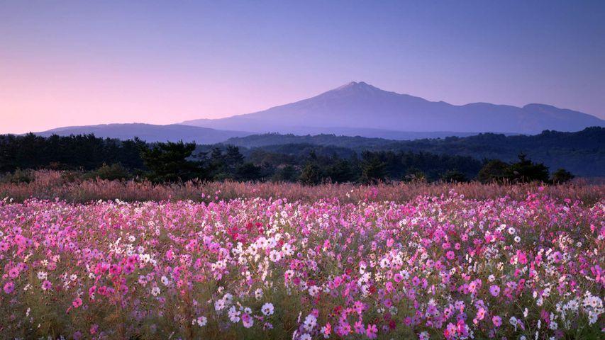 「鳥海山とコスモス」秋田, 由利本荘市
