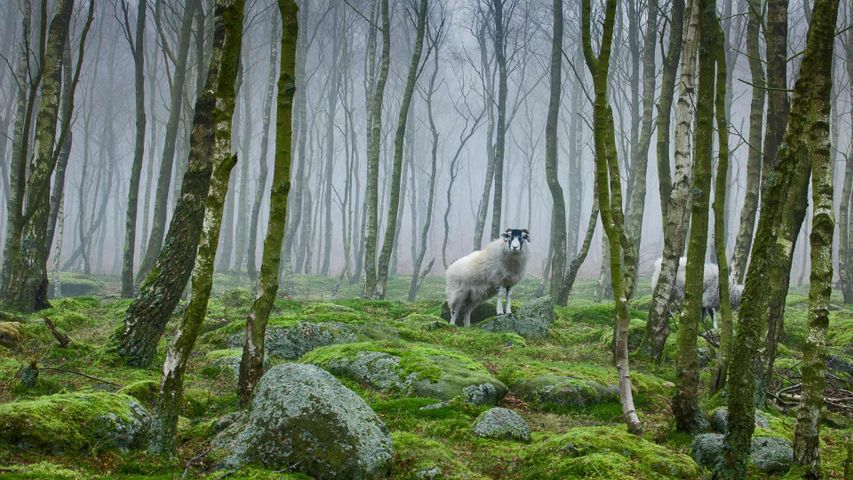 Sheep in the Peak District National Park of Derbyshire, England
