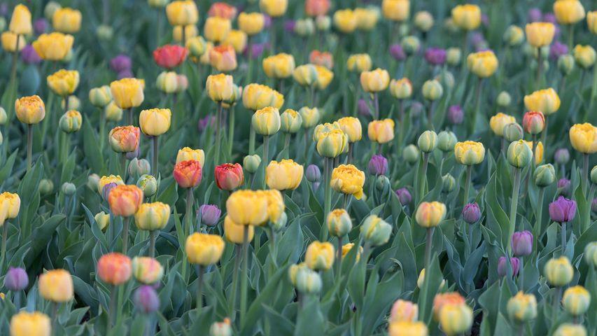 Flower bed of tulips, Ottawa