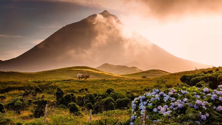 A bull in the foothills of Mount Pico on Pico Island in the Portuguese archipelago of the Azores