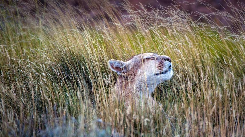 A puma in Torres del Paine National Park, Chile