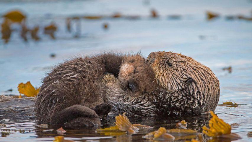 Nutria marina con su cría en la bahía de Monterrey, California, EE.UU.