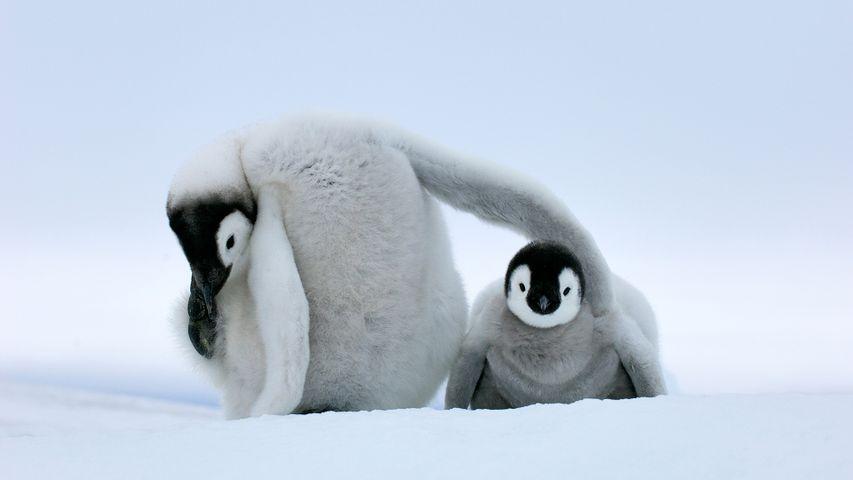 Deux petits manchots Empereurs, Antarctique