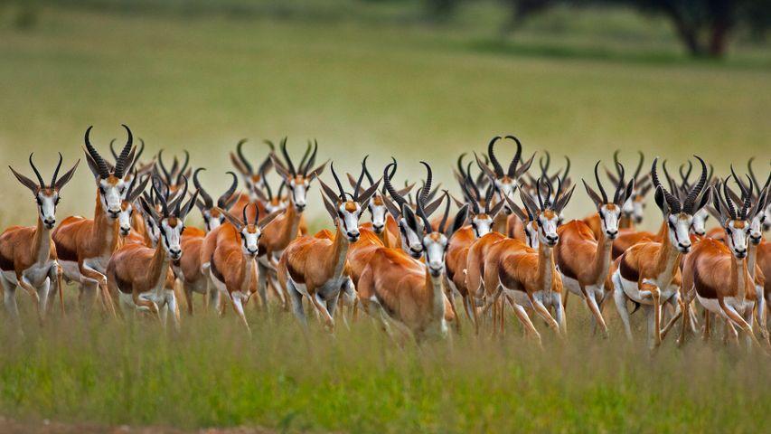 「スプリングボックの群れ」南アフリカ, カラハリ砂漠