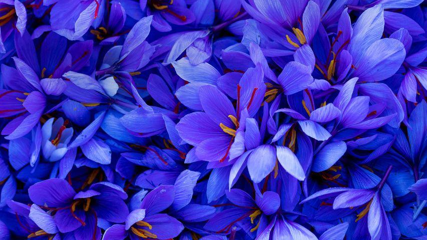 Fleurs de safran, Espagne