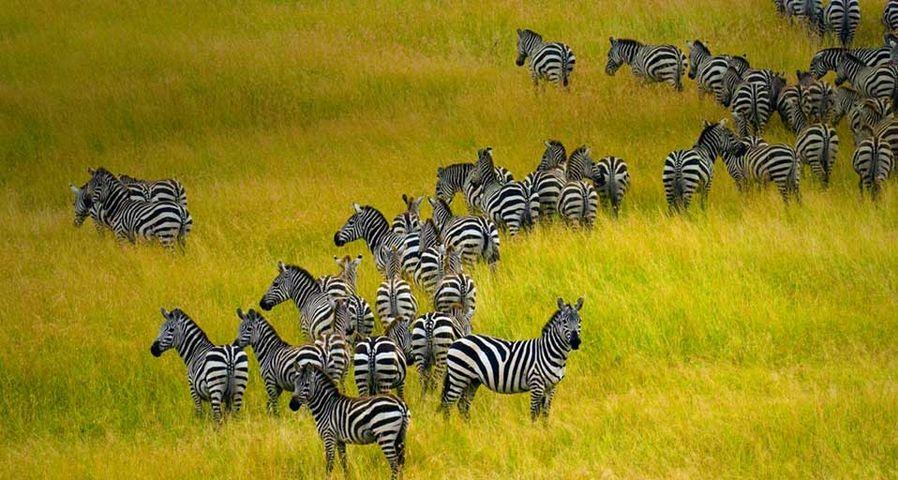 Zebra herd in Masai Mara National Reserve in Kenya