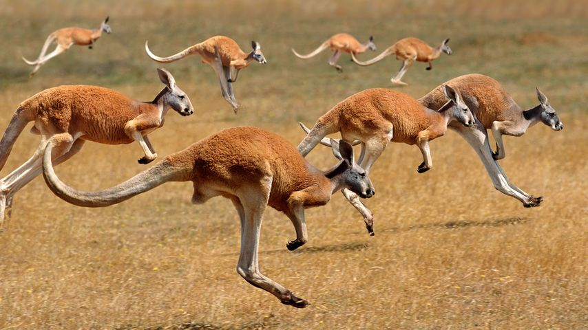 Red Kangaroos (macropus rufus) hopping in the Australian outback