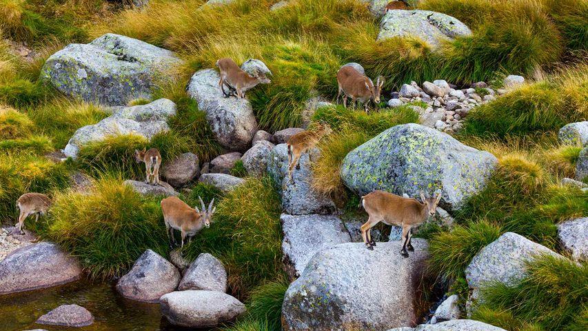 Grupo de cabras monteses en la Sierra de Gredos, Ávila, Castilla y León