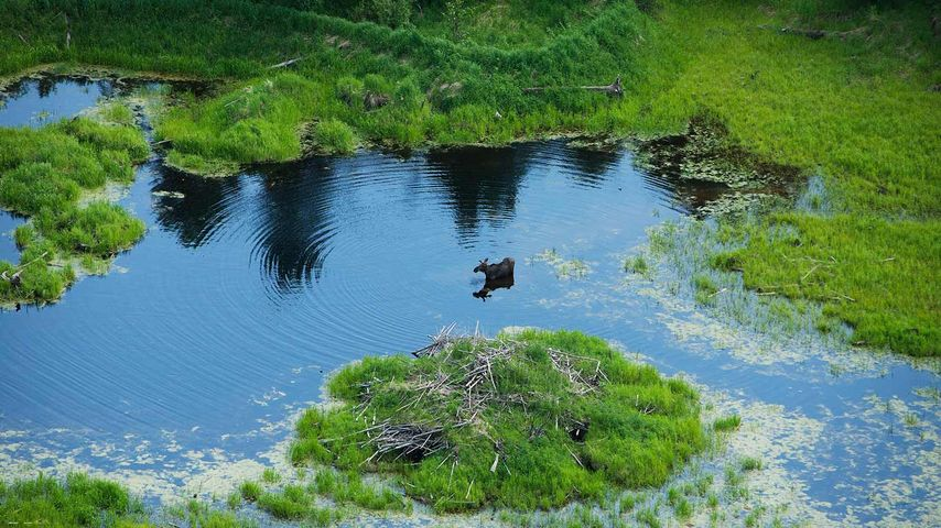 A moose walks through a small pond in northern Alberta, Canada