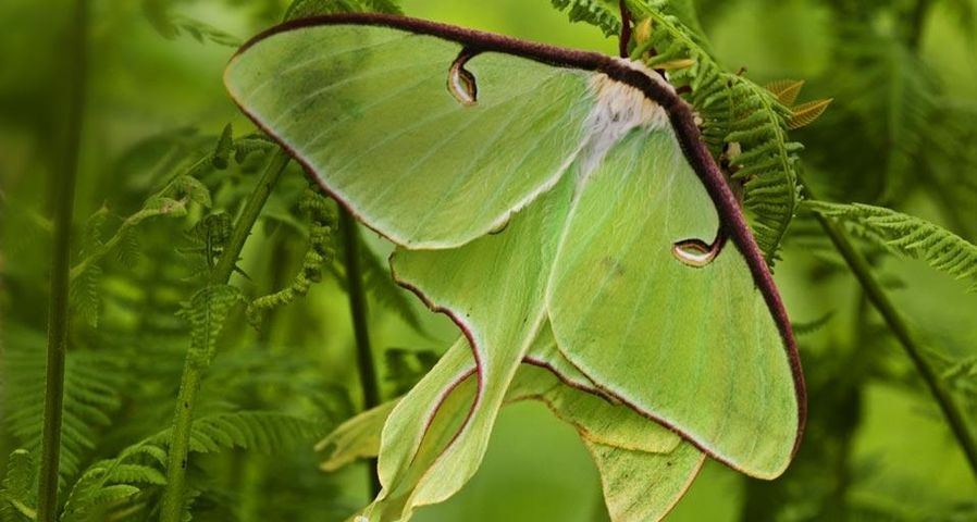 Luna moths among hay-scented ferns, Lively, Ontario, Canada
