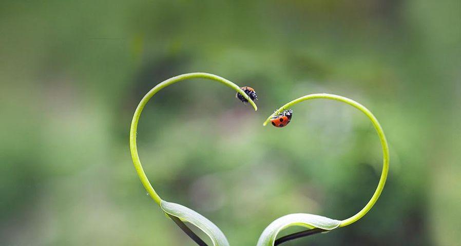 日本北海道,植物上的瓢虫