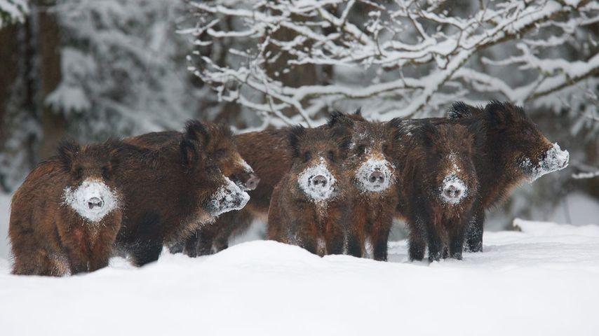 Wild boar herd, Alam-Pedja Nature Reserve, Estonia