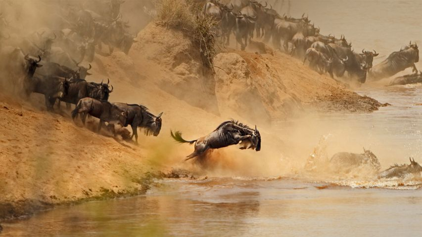 Wildebeest herd crossing the Mara River between Kenya and Tanzania