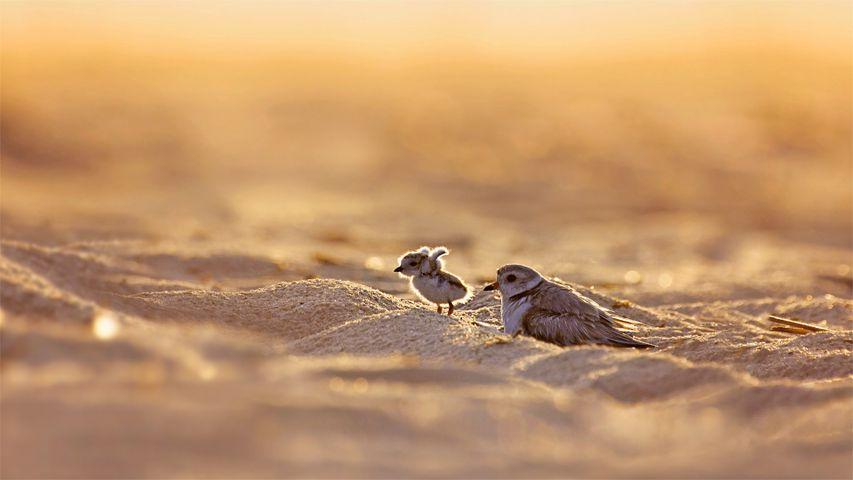 琼斯海滩岛上的笛鸻和它的幼崽