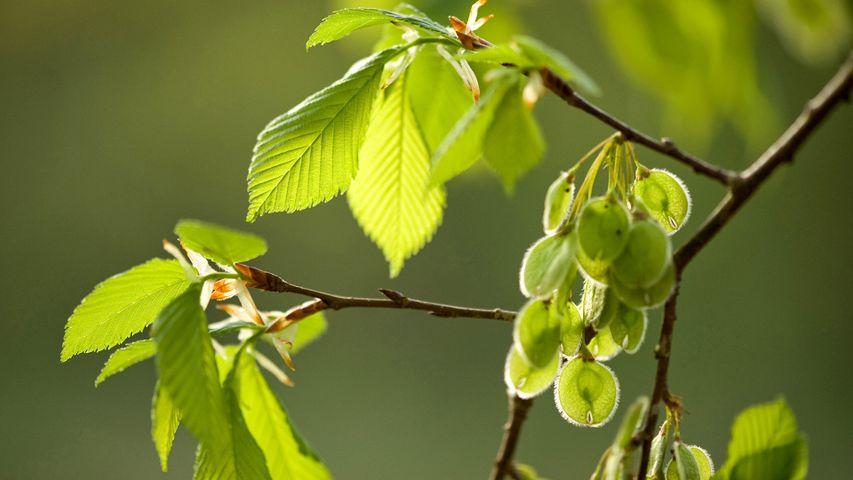 Zweige und Früchte der Flatterulme (Ulmus laevis). Zum Tag des Baumes