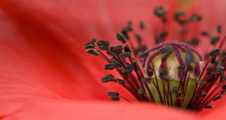 红色罂粟花特写