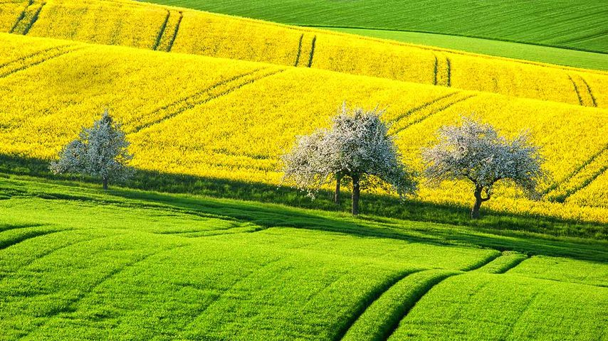 Green and yellow canola fields in spring