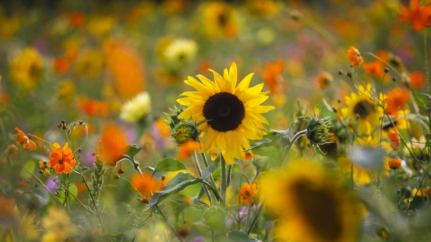 Sommerwiese mit Sonnenblumen, Deutschland