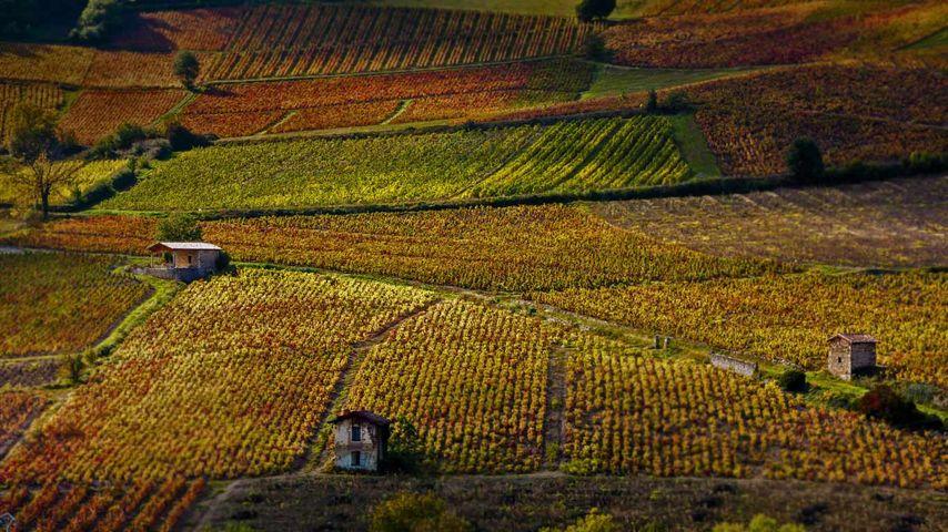Weinberge bei Beaujeu, Département Rhône, Region Auvergne-Rhône-Alpes, Frankreich