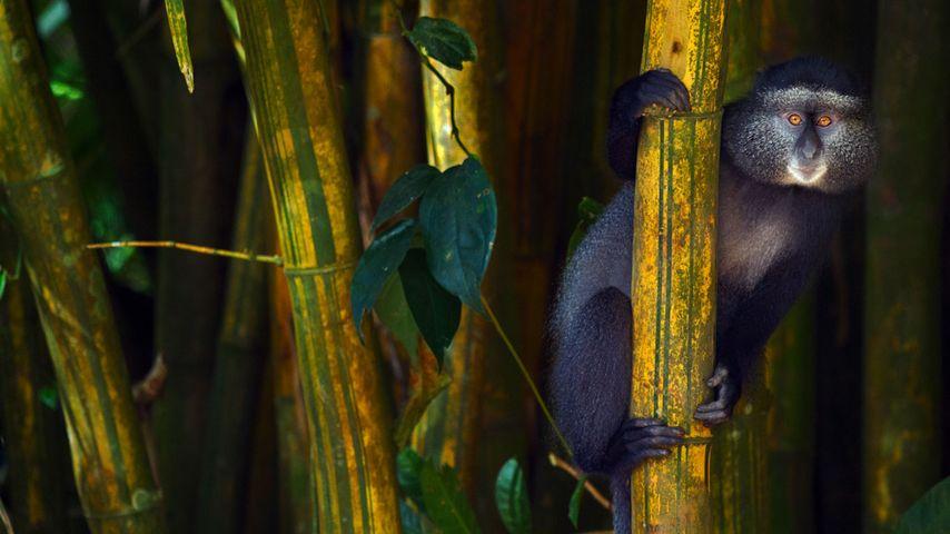Blue monkey in the Kakamega Forest Reserve, Kenya