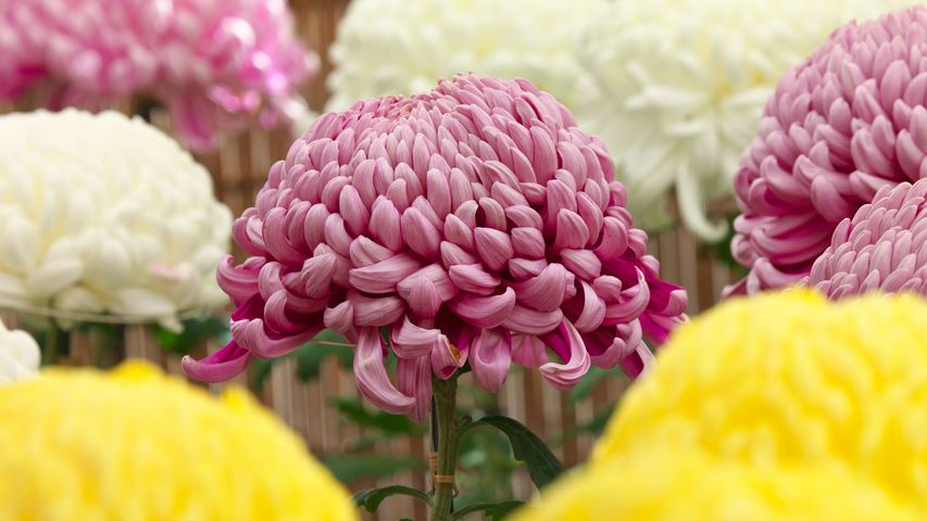 「菊の花」東京都, 調布市