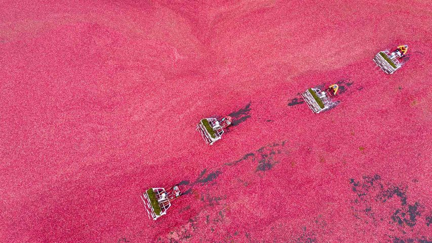 Cranberry harvest seen from a drone, Vancouver