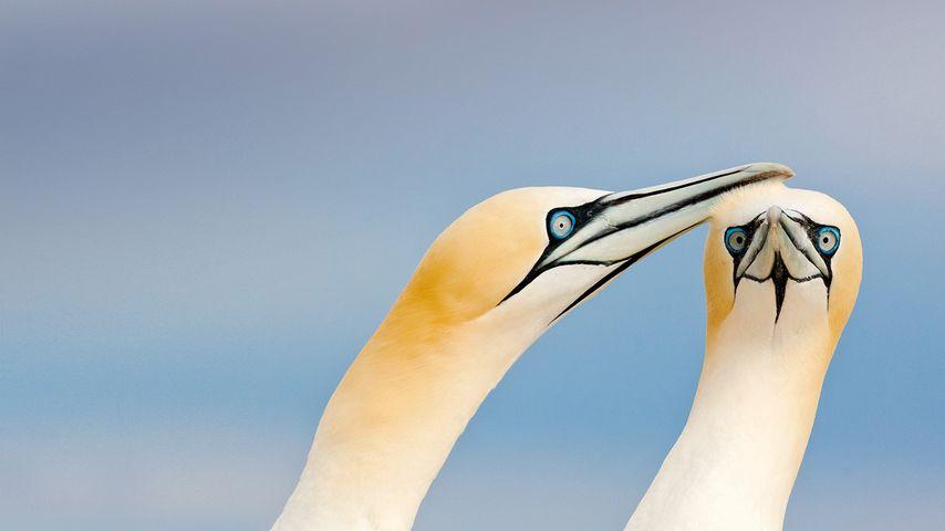 Fous de Bassan dans l'archipel des Saltee Islands, Irlande