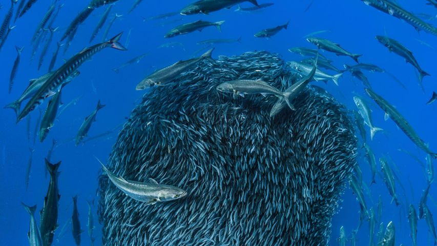European barracuda and bluefish circling a bait ball of Atlantic horse mackerel off the shore of the Formigas Islets, Azores