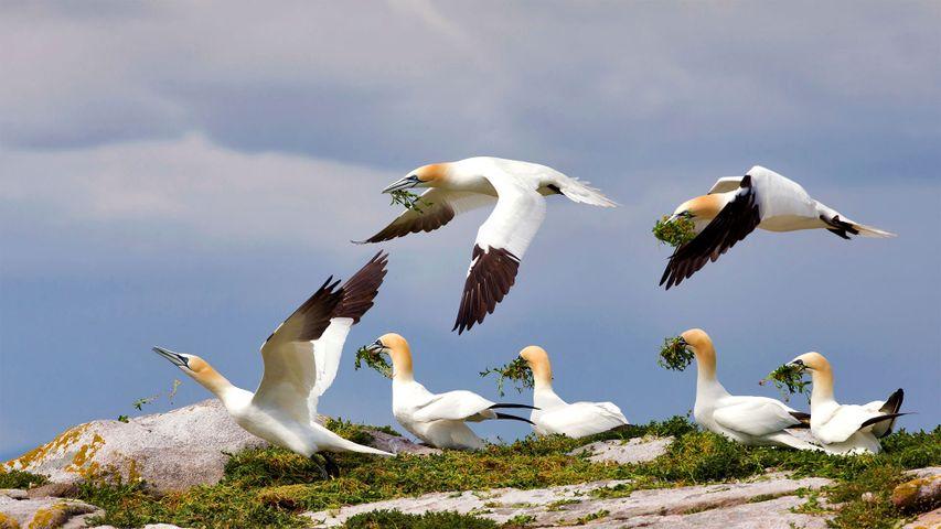 Northern gannets on Great Saltee Island, Ireland