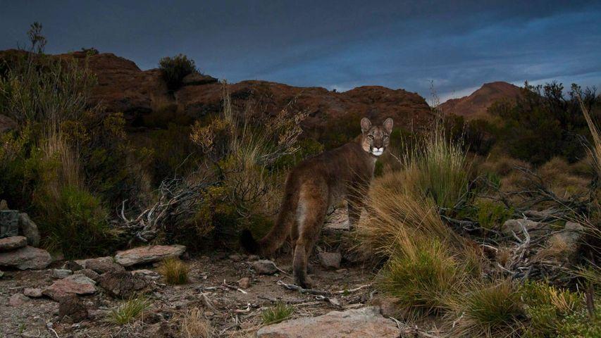 安第斯山脉的一只美洲狮,阿根廷