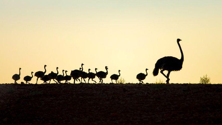 Autruche suivie de ses poussins, province du Cap-Occidental, Afrique du Sud
