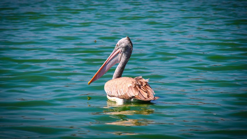 water outdoor animal aquatic bird bird lake pelecaniformes pelican