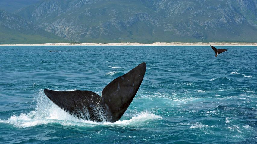 Southern right whales off the coast of South Africa. The Hermanus Whale Festival starts today.
