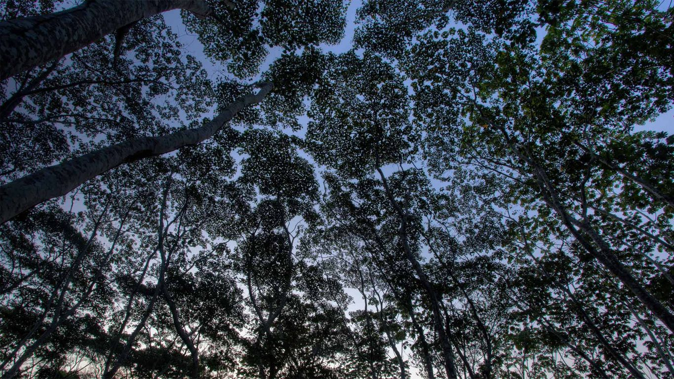 The tree canopy in the Tambopata National Reserve of the Peruvian Amazon