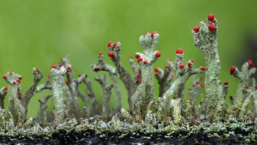 Cladonia floerkeana lichen growth in Eifel, Germany