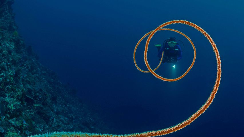 Spiral whip coral off the coast of Indonesia