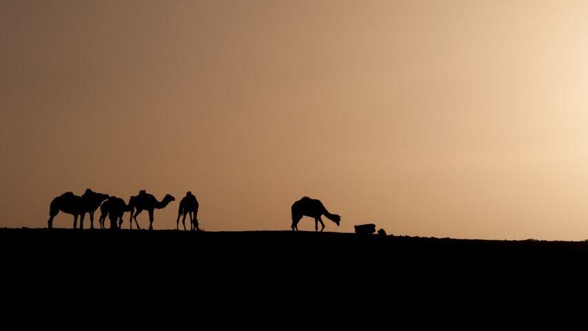 sky outdoor animal camel horse sunrise group mammal